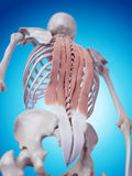 The deep back muscles Stock Photos
