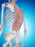 The deep back muscles Stock Photo