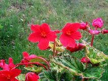 Deep beautfull red flowers a early rainy morning royalty free stock photos