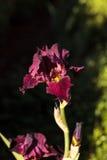 Deep blood red bearded iris Stock Photos