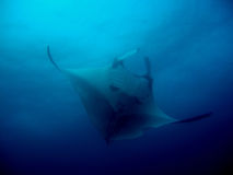 From the deep blue. Manta Ray rising from the deep blue oscean Royalty Free Stock Image