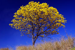 Deep blue. A tree with flowers in a deep blue sky Royalty Free Stock Photos