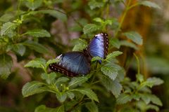 Deep blue and black butterfly stock photography