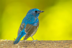 Deep blue of Chinese Blue Flycatcher(Cyornis glaucicomans) Royalty Free Stock Photography