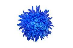 Deep Blue Chrysanthemum Flower Isolated over White Background. Beautiful Dahlia Flowerhead Macro stock images