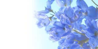 Deep Blue Delphinium Flowers. Floral Background. Royalty Free Stock Photography