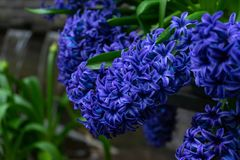 Deep blue flowers of hyacinths in spring garden. royalty free stock photos