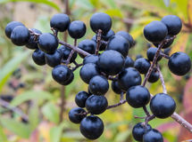 Berries from Wild Privet, Ligustrum vulgare. Deep blue and glossy berries on a shrub of the Wild Privet, Ligustrum vulgare, in autumn Royalty Free Stock Photography