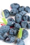 Deep blue honeysuckle berries Royalty Free Stock Image
