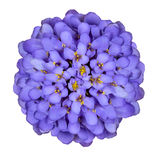 Deep Blue Iberis Flower Isolated on White Stock Photos