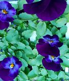 Deep blue indigo pansies with green foliage, photographed in Bloemfontein, South Africa