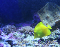 Deep blue sea. Little yellow fish in the water fishtank stock images