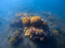 Deep blue sea landscape with coral reef under sunlight. Round coral formation with seaweed. Royalty Free Stock Photo