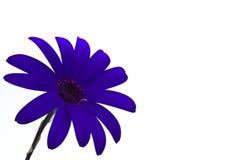 Deep blue senetti flower. Isolated on white Stock Image