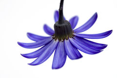 Deep blue senetti flower. Isolated on white Royalty Free Stock Photo