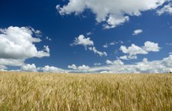 Deep blue sky over the wheat field stock photography