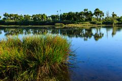 A wetland in New Zealand with cabbage trees and rushes stock photo