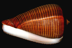 Deep brown conus snail shell with lines Stock Images