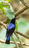 Deep color of male Asian Fairy-bluebird Royalty Free Stock Photo