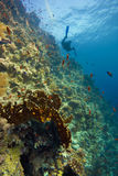 Deep coral-reef with blue water & diver royalty free stock photo