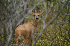 In Deep Cover. Excellent example of a mature adult male Steenbok Stock Photo
