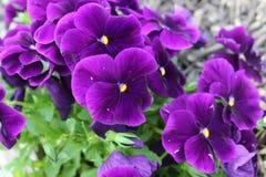 Deep dark pansies. Deep purple pansies in a garden of green Stock Image