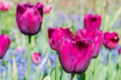 Deep dark red tulip Royalty Free Stock Photos
