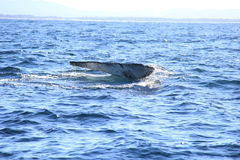 Deep diving Hump Back Whale Australia Stock Photo