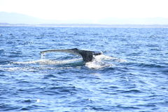 Deep diving Hump Back Whale Australia Royalty Free Stock Image