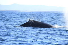 Deep diving Hump Back Whale Australia Royalty Free Stock Photography