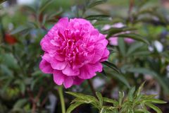 Deep double pink peony bloom. Flower perennial Himalayan bright showy rich display royalty free stock photography