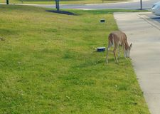 Deer Enjoying a Snack Near a Sidewalk stock image