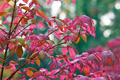 Deep fall colors. A cherry tree changing colors with other trees changing in the background Royalty Free Stock Photo