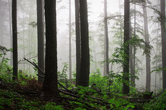 Deep fog in the forest Royalty Free Stock Photo