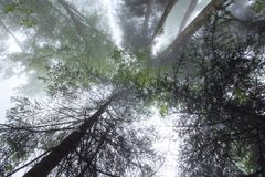 Deep fog in pine-tree forest Royalty Free Stock Image