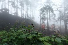 Deep fog in pine-tree forest Stock Image