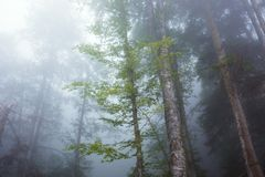 Deep fog in pine-tree forest Royalty Free Stock Photography
