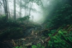 Deep fog in pine-tree forest Stock Photography