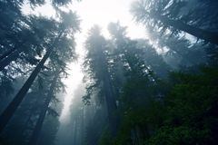 Deep Foggy Forest Royalty Free Stock Images