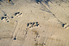 Deep footprints big dog on the sandy shore Stock Photos