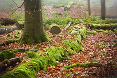 Deep forest. Foggy day in autumn forest Stock Image