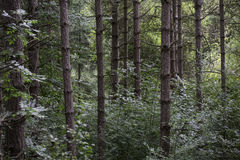 Deep in the forest. Detail of the trunks of closely planted trees in a dense forest Stock Photography