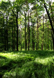 Deep forest. Deep green forest with beatyfull gras in front Stock Photos