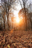 Deep forest autumn. Autumn forest with sunlght among trees and a lot of fallen leaves Stock Photo
