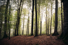 Deep Forest beautiful landscape foggy moody weather Royalty Free Stock Images