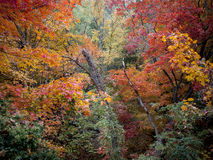 Deep Forest of Brightly Colored Fall Foliage. Various trees with orange, red, and yellow leaves in the fall near the Hudson River Palisades Stock Images