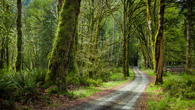 Deep forest in Elwha River Trail, Olympic national park stock photography