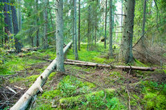 Deep forest and fallen trees Royalty Free Stock Photography
