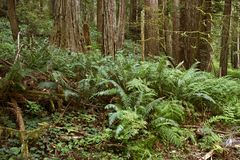 Deep Forest with Ferns Royalty Free Stock Images