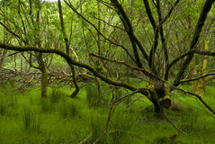 Deep Forest, Ireland Royalty Free Stock Images